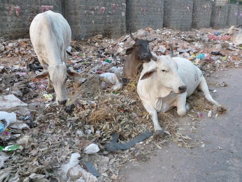 Krávy v Novém Dillí