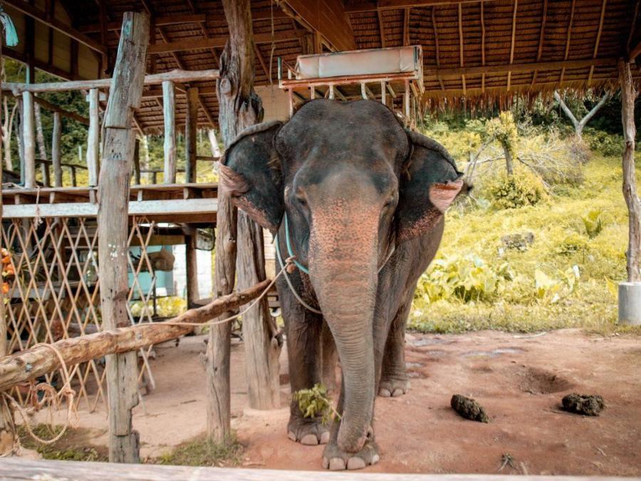 Pašování slonů