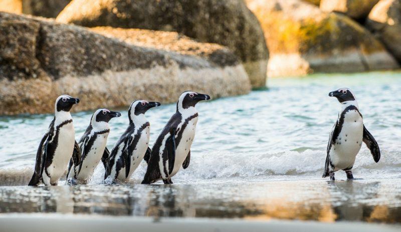 Tučňáci v kapském měste
